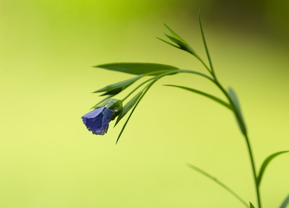 I got some flax seeds to plant in backyard and saw this beautiful tiny blue flower grow'