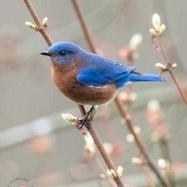 Eastern Bluebird in Spring