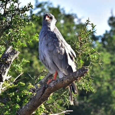 Pale Chating Goshawk in Addo Elephant National Park.