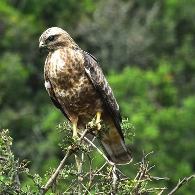 Steppe Buzzard observed in Addo Elephant National Park.
