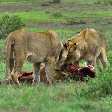 Two young lions eating on a red hartebeest carcass in Ado National Park.