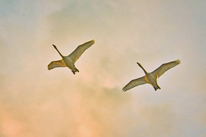 Trumpeter swans overhead at sunset