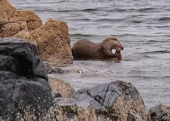 Sea Otter on the Isle of Arran