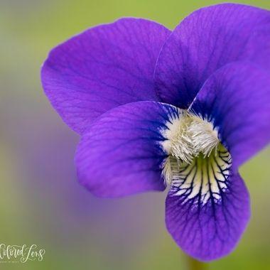 Macro Violet