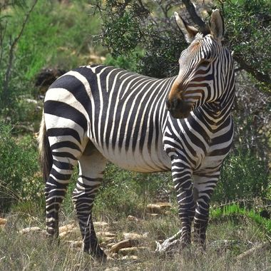 Mountain Zebra in Mountain Zebra National Park.