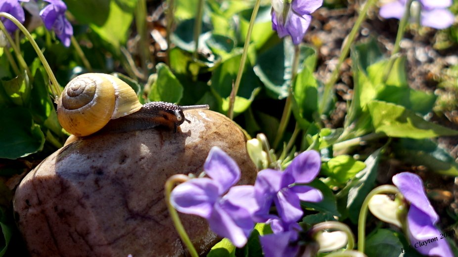 Sunbathing Snail.JPG