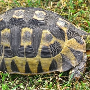 Angulate tortoise from Bontebok National Park.