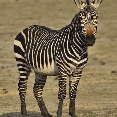 Mountain Zebra from Mountain Zebra National Park.