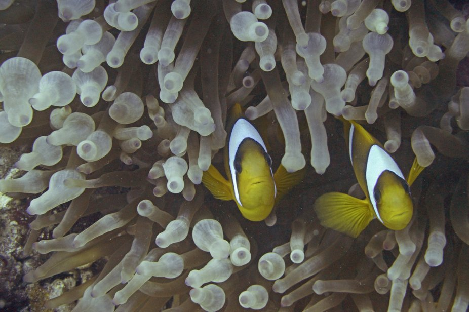 Red Sea anenome fish (clownfish) in their anenome home. Taken in the Ras Mohammed national park a...