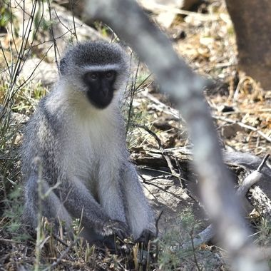 Vervet monkey in Mountain Zebra National Park.