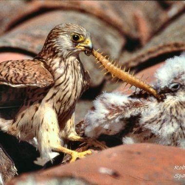 Cernicalo primilla (Falco naumanni),alimentando a uno de sus pollos en el nido debajo de una teja. Original diapositiva color.(digitalizada)