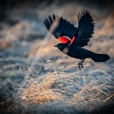 I came across a group of male Red-winged Blackbirds feeding in the grass of a small marsh.
