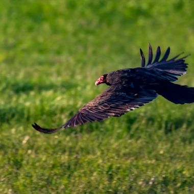 As I watched this Turkey Vulture sitting in a field. It took off and glided close to the ground before rising in the late afternoon.