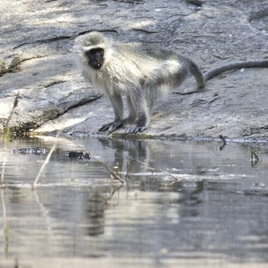 Vervet monkey at picnic spot in Mountain Zebra National Park.