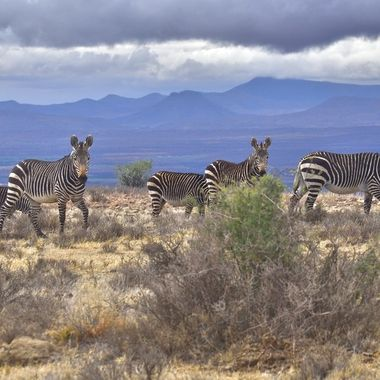 Mountain Zebras grazing on a plain with Majestic Mountains  in the background in Mountain Zebra National Park.
