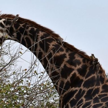 Giraffe with Red-billed Oxpeckers on its neck in Kruger National Park.