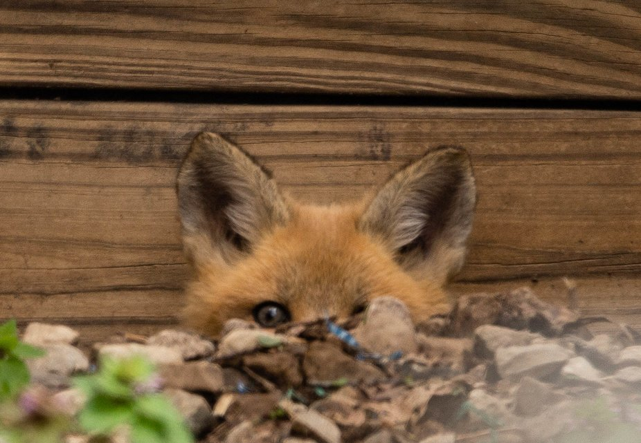 Having seen the momma Red fox run from this area earlier I happened to look over and see a Kit si...