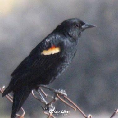 Red winged black bird male