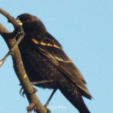 immature red winged black bird male
