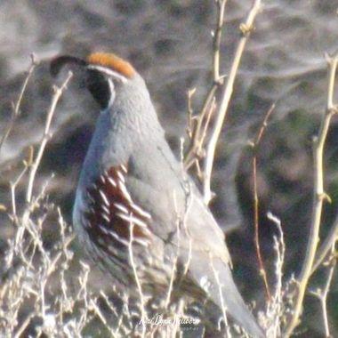 gambels quail male