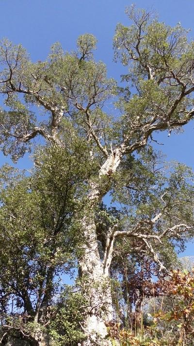 S1180028.JPG oak tree