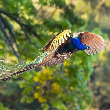 Peacock DSC05120