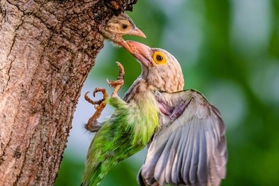 The Lineated Barbet