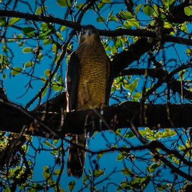 This Coopers Hawk just finished mating