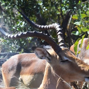 Impala ram - head with horns taken near Skukuza Rest Camp in Kruger National Park.
