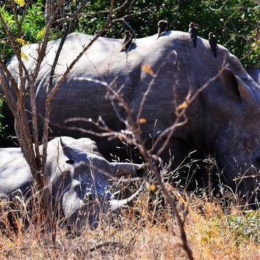 White rhino cow and calf with red-billed oxpeckers observed in Kruger National Park.
