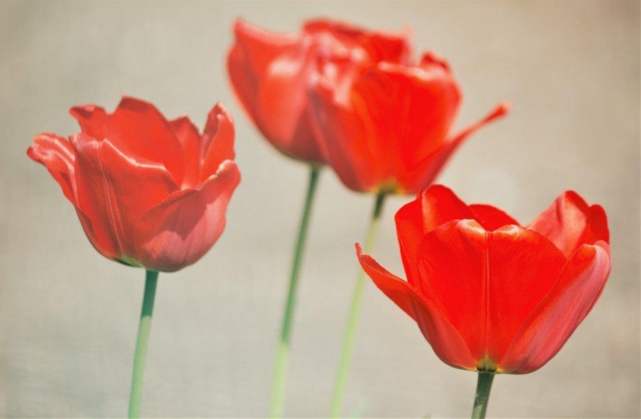 tulipani schiaffeggiati dal vento
