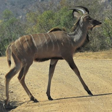 Jung kudu bull observed near Skukuza Rest Camp in Kruger National Park.