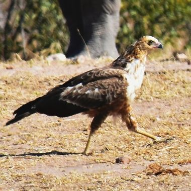 Juvenile Secretary Bird observed near Skukuza Rest Camp in Kruger National Park.