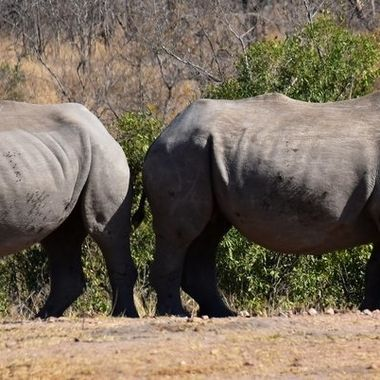 White rhino cow and calf observed near Pretoriuskop Rest Camp.