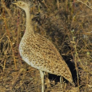 Female Red-Crested Korhaan observed near Lower Sabie Rest Camp in Kruger National Park.