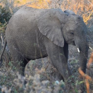 Young Elephant bull observed near Lower Sabie Rest Camp in Kruger National Park.