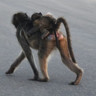 Female African Baboon with baby on road towards Lower Sabie.
