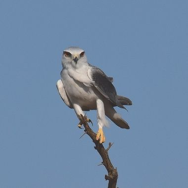 Black Shouldered Kite observed near Lower Sabie Rest Camp.
