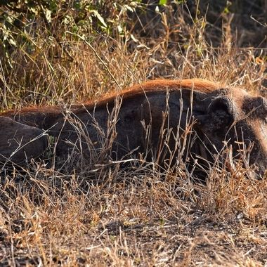 Big Warthog observed near Skukuza Rest Camp