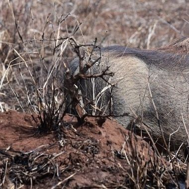 Warthog family observed near Tshokwane picnic area,