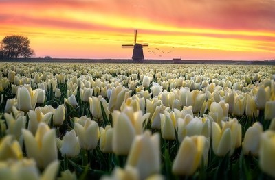 Dutch tulip sunrise