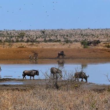 Burchell's Zebra, Blue wildebeest and warthog at waterhole near Tshokwane picnic area in Kruger National Park..