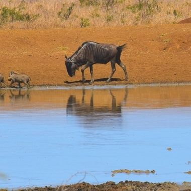 Blue Wildebeest chasing warthog family at a waterhole near S