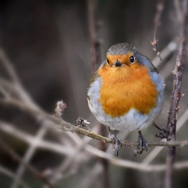 My fav friendly Robin