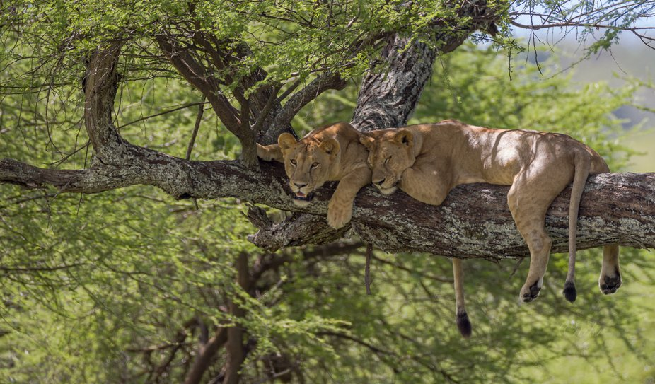 Two lioness taking their afternoon nap in a tree...being in a tree helps with combating insects a...