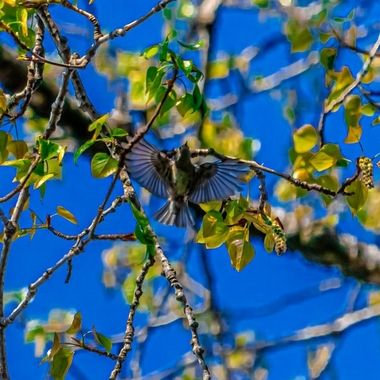 Humming Bird Open Wings
