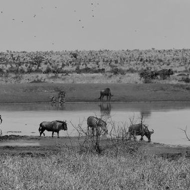 Waterhole with Warthog, Burchell's Zebra, Blue Wildebeest observed near Skukuza Rest Camp.