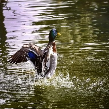 Mallard Showing Off NW