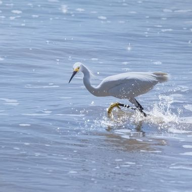 Egret Running to Lunch NW