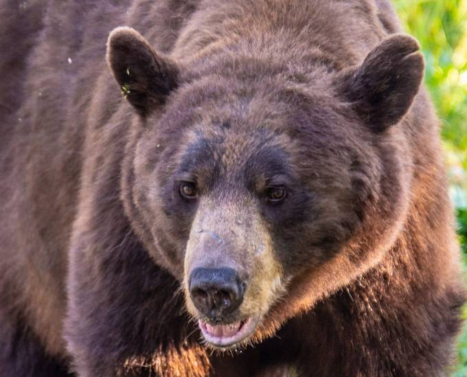 A friendly brown phase black bear that wanted it's photo taken this morning!